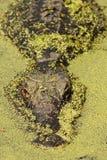 swamp för alligatorduckweedokefenokee royaltyfri fotografi
