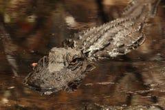 swamp för alligatorgeorgia okefenokee Arkivfoton
