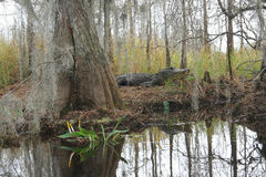 swamp för okefenokee för alligatorlivsmiljö naturlig Royaltyfri Bild
