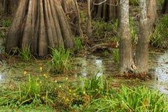 Swamp Floor. Floor of the swamp at Lake Martin, Breaux Bridge, Louisiana Royalty Free Stock Image