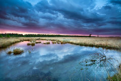 Swamp with flowering cottongrass at sunset Royalty Free Stock Images