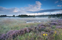 Swamp and flowering heather in misty morning Stock Images