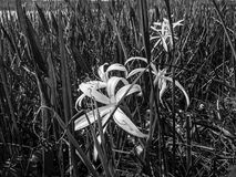 Black and white swamp lily. Swamp Flowers and reflections of the trees in a river stock photo