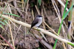 Swamp flycatcher on a branch Stock Images