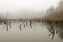 Swamp in fog Stock Image