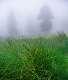 Swamp in fog. Fir trees in morning fog, with a swamp in foreground stock photo