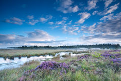 Swamp in fog and flowering heather Stock Images