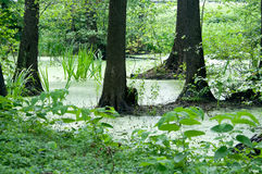 Swamp in the forest Royalty Free Stock Photography
