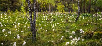 Swamp forest, blooming white Stock Image