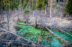 Swamp in forest Royalty Free Stock Photography