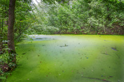 Swamp in the forest Royalty Free Stock Photos