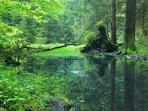 Swamp in forest. Fresh spring green color. Bended branches above water, reflection in water level, stalks of herbs. In water and on pond banks stock photography