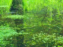 Swamp in forest. Fresh spring  green color. Bended branches above water,  reflection in water level, stalks of herbs. In water and on pond banks Stock Image