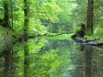 Swamp in forest. Fresh spring green color. Bended branches above water, reflection in water level, stalks of herbs. In water and on pond banks stock photos