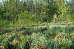 Swamp and forest. Swamp and green forest. Warm sun morning on a bog Stock Photos
