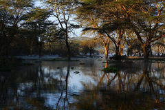 Swamp. In the forest in kenya royalty free stock photo