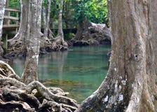 Swamp forest, Krabi, Thailand Stock Images