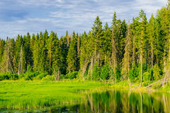 Swamp and forest Royalty Free Stock Photography