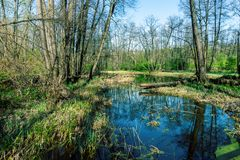 Swamp in forest with reflection of trees, forest swamp - dead place royalty free stock photos