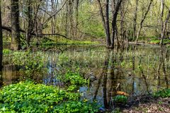 Swamp in the forest with reflexion, nature. In spring season green landscape water marsh park trees algae ecosystem scenic wilderness plant florida everglades stock photos