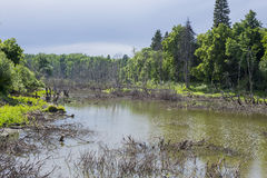 Swamp forest in the spring Royalty Free Stock Photos
