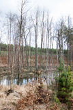 Swamp in the forest in spring Royalty Free Stock Image
