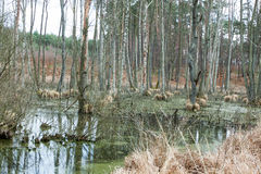 Swamp in the forest in spring Royalty Free Stock Images