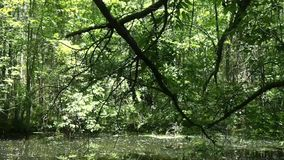 Swamp in a forest stock video