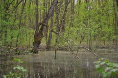Swamp in the forest Royalty Free Stock Photo