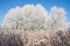 Swamp with frozen reed and trees in winter Stock Photo