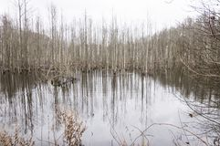 Swamp full with rotting trees. Flooded forest became dismal swamp. Lithuania royalty free stock photo