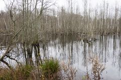 Swamp full with rotting trees. Flooded forest became dismal swamp. Lithuania stock image