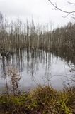 Swamp full with rotting trees. Flooded forest became dismal swamp. Lithuania stock photo