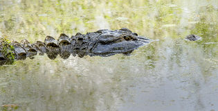 Swamp Gator. A full-size alligator breaks the water surface Royalty Free Stock Photography