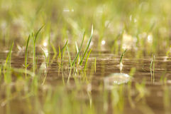 Swamp grass Royalty Free Stock Image