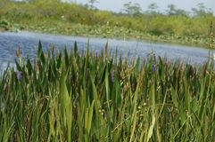Swamp grass and the bayou Royalty Free Stock Images