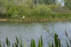 Swamp grass and the bayou Royalty Free Stock Photos