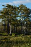 Swamp grass and the bayou stock image