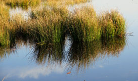 Swamp grass and reflection Royalty Free Stock Photos
