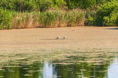 Swamp grass seagull bird Royalty Free Stock Images