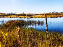 Swamp grass and wildflowers in the marsh. Tall reeds and swamp lilies on the river shore stock photography