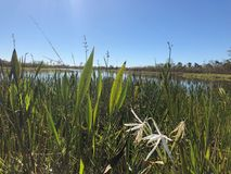 Swamp grass and wildflowers in the marsh. Tall reeds and swamp lilies on the river shore royalty free stock photo
