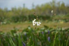 arrowhead flowers in the marsh Stock Photos