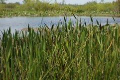 Swamp grasses and reeds Royalty Free Stock Photo