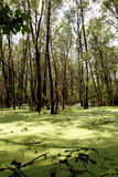 Swamp in the green. Swamp in the green forest Royalty Free Stock Photo