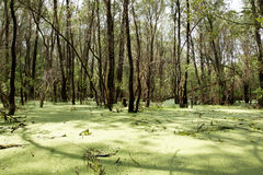 Swamp in the green. Swamp in the green forest Royalty Free Stock Image