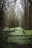 Swamp with green algae and bamboo Stock Photos