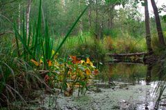 Swamp in a green autumn forest Royalty Free Stock Image