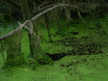 Swamp. The green swamp in forest Stock Photography