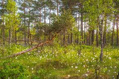 Swamp forest, blooming white Royalty Free Stock Photo